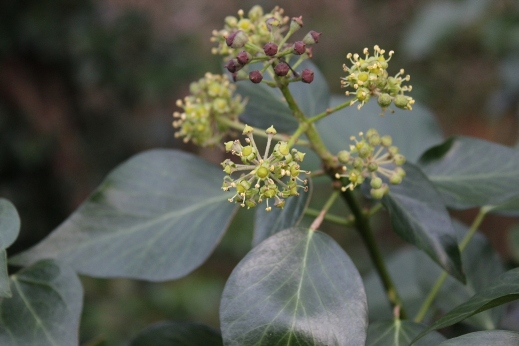 Common ivy (Hedera helix) with flowers & fruits